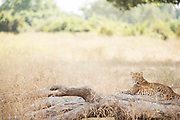 Leopard lying by log in South Luangwa National Park, Zambia