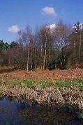 ADD2YE Wetland pond on River Tang and heathland with silver birch , Tangham, Suffolk, England
