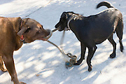 Dogs play tug of war with rope
