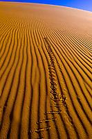 Sidewinder snake, Swakopmund Dunes, Swakopmund, Namib Desert, Namibia