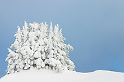 A grove of trees is shrouded in heavy snow on a ridge above Boulder Lake, Glacier Peak Wilderness, Washington.