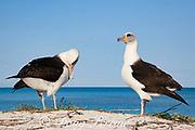 Laysan albatross, Phoebastria immutabilis, preening during courtship dance, Sand Island, Midway Atoll, Midway National Wildlife Refuge, Papahanaumokuakea Marine National Monument, Northwest Hawaiian Islands, USA ( North Pacific Ocean )