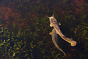 Clarias gariepinus or African sharptooth catfish is a species of catfish of the family Clariidae, the airbreathing catfishes. Photographed in Israel in December