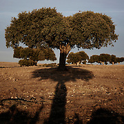 Holm oak near Salamanca, Salamanca province, Spain . The WAY OF SAINT JAMES or CAMINO DE SANTIAGO following the Silver Way, between Seville and Astorga, SPAIN. Tradition says that the body and head of St. James, after his execution circa. 44 AD, was taken by boat from Jerusalem to Santiago de Compostela. The Cathedral built to keep the remains has long been regarded as important as Rome and Jerusalem in terms of Christian religious significance, a site worthy to be a pilgrimage destination for over a thousand years. In addition to people undertaking a religious pilgrimage, there are many travellers and hikers who nowadays walk the route for non-religious reasons: travel, sport, or simply the challenge of weeks of walking in a foreign land. In Spain there are many different paths to reach Santiago. The three main ones are the French, the Silver and the Coastal or Northern Way. The pilgrimage was named one of UNESCO's World Heritage Sites in 1993. When there is a Holy Compostellan Year (whenever July 25 falls on a Sunday; the next will be 2010) the Galician government's Xacobeo tourism campaign is unleashed once more. Last Compostellan year was 2004 and the number of pilgrims increased to almost 200.000 people.