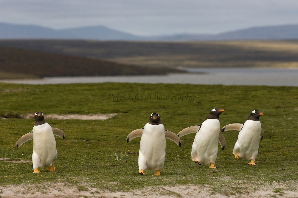 Gentoo Penguins (Pygoscelis papua)<br /> Volunteer Point, Johnson's Harbour, East Falkland Island. FALKLAND ISLANDS.<br /> RANGE: Circumpolar in Subantarctic regions.<br /> These penguins are resident and breed in the Falklands. They are fairly widely distributed and form compact breeding colonies of 300-500 pairs. The breeding sites are usually situated on low, open coastal heath or grassland and usually 100's of meters inland. Some populations use same site annually while others progress inland selecting new sites each year which is why some colonies are up to 5 km inland. Breeding begins in late September when colonies are established. A clutch of 2 eggs is laid in mid October. Incubation is 33-34 days and young are fully moulted by late January and enter sea by early February. They feed extensively on Lobster Krill. Schooling fish and squid are also taken.