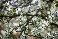 Damson Plum tree in blossom. Prunus domestica