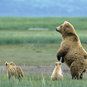 Alaskan Brown Bear (Ursus middendorffi) mother and two cubs; the mother standing on her hind legs. Alaskan Peninsula
