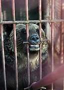 A brown bear in a cage at the Ainu Museum at Lake Poroto. The Ainu people are indigenous to Japan and Russia. Hokkaid?, Japan