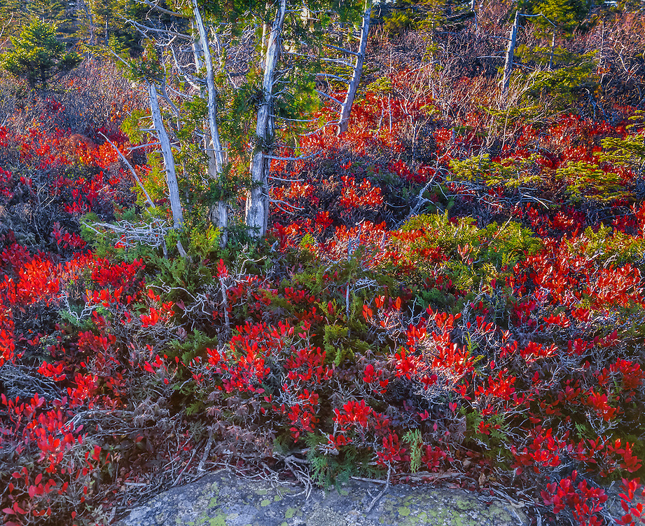 Red-leaved bushes, cedar & spruce, fall, Acadia National Park, ME
