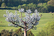 """False Tree Mobile Phone Mast / Fake Cell phone Antenna Tower in English landscape..Disguised """"Antenna Tower in the form of a Tree"""" at the Offices of AlanDick  located next to the A40 at Charlton Kings. Cheltenham, Gloucestershire, England"""