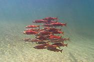 Kokanee Salmon<br /> <br /> Fernando Lessa/Engbretson Underwater Photography