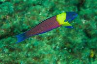 Cortez Rainbow Wrasse (Thalassoma lucasanum)<br /><br />Coiba Island<br />Coiba National Park<br />Panama<br /><br />Mona Lisa dive site