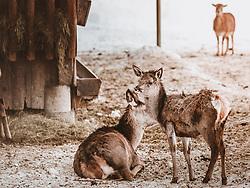 THEMENBILD - Rotwild Jungtiere in der Nähe einer Wildtierfütterung aufgenommen am 16. Februar 2019 in Maria Alm, Oesterreich // Red deer young animals close to feeding of wild animals in Maria Alm, Austria on 2019/02/16. EXPA Pictures © 2019, PhotoCredit: EXPA/Stefanie Oberhauser