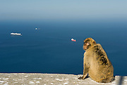 Barbary Macaque or Barbary Ape (Macaca sylvanus) with the rock seen behind.<br /> GIBRALTAR, UNITED KINGDOM<br /> Only monkey in Europe. True monkeys not apes and the only monkey without a tail. They are arboreal and terrestrial.<br /> IUCN: ENDANGERED SPECIES