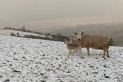 © Licensed to London News Pictures. 12/04/2021. Llanfihangel Nant Melan, Powys, Wales, UK. Ewes and lambs wake up to an unseasonal wintry landscape near Llanfihangel nant Melan in Powys, Wales, UK. Photo credit: Graham M. Lawrence/LNP