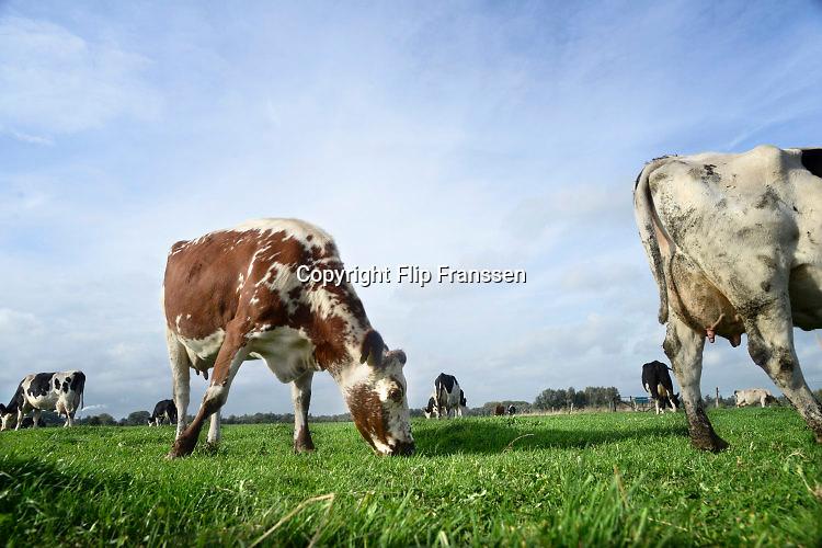 Nederland, Ooij, 21-10-2015Koeien grazenl in de wei. FOTO: FLIP FRANSSEN/ HH