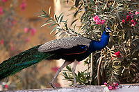 peacock of india in rajasthan state in india