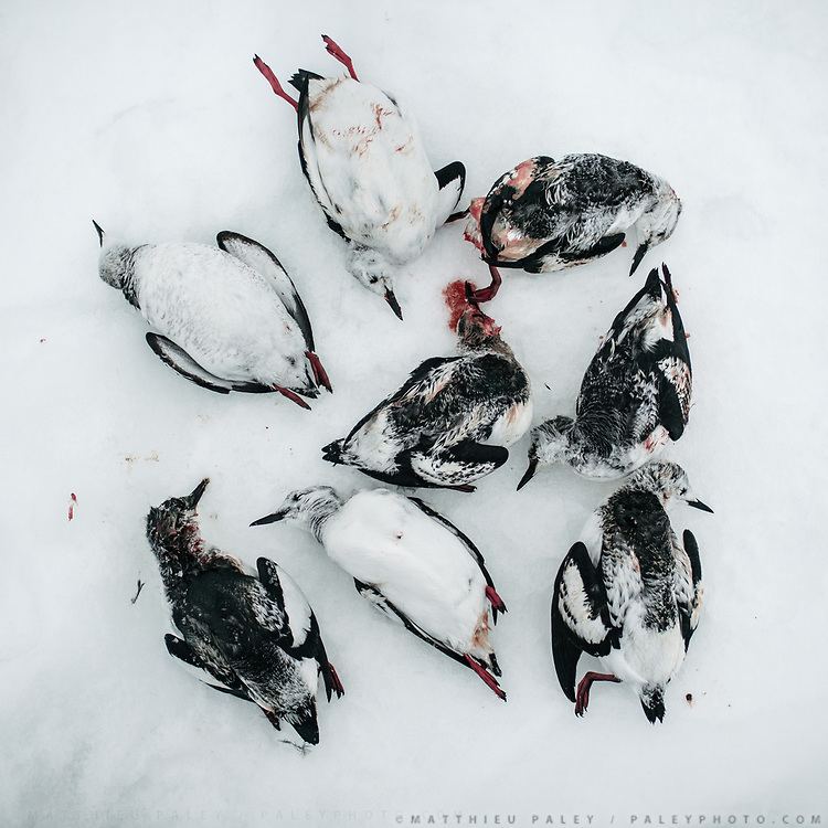 """Game birds called Ptarmigan (""""Nonyega"""" in Inuit East Greenlandic language), after a day hunting with Bent and Dina Ignatiussen. Life in and around the small Inuit settlement of Isortoq (population of 64), in East Greenland."""