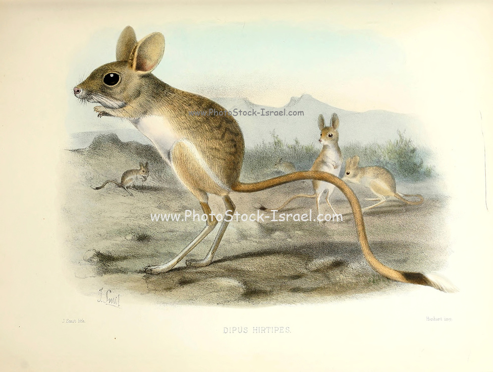 The lesser jerboa (Jaculus jaculus [Here as Dipus hirtipes]) is a small rodent of Africa and the Middle East. Its diet consists mainly of seeds and grasses, however the Jerboa needs very little water to survive. From the survey of western Palestine. The fauna and flora of Palestine by Tristram, H. B. (Henry Baker), 1822-1906 Published by The Committee of the Palestine Exploration Fund, London, 1884