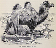 The Bactrian camel (Camelus bactrianus), also known as the Mongolian camel or domestic Bactrian camel, is a large even-toed ungulate native to the steppes of Central Asia. It has two humps on its back, in contrast to the single-humped dromedary camel. Its population of two million exists mainly in the domesticated form. Their name comes from the ancient historical region of Bactria. From the book ' Royal Natural History ' Volume 2 Edited by Richard Lydekker, Published in London by Frederick Warne & Co in 1893-1894
