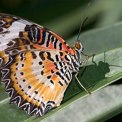 A lacewing butterfly at the Butterfly Farm on St. Martin.