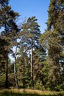 pine trees iin the Wahner Heath near Telegraphen hill, Troisdorf, North Rhine-Westphalia, Germany.<br /> <br /> Kiefern in der Wahner Heide nahe Telegraphenberg, Troisdorf, Nordrhein-Westfalen, Deutschland.