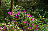 Rhododendron bush, Lalashan Forest Reserve, Baling, Taiwan