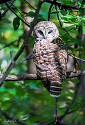 Barred Owl Stare-down in Central Park