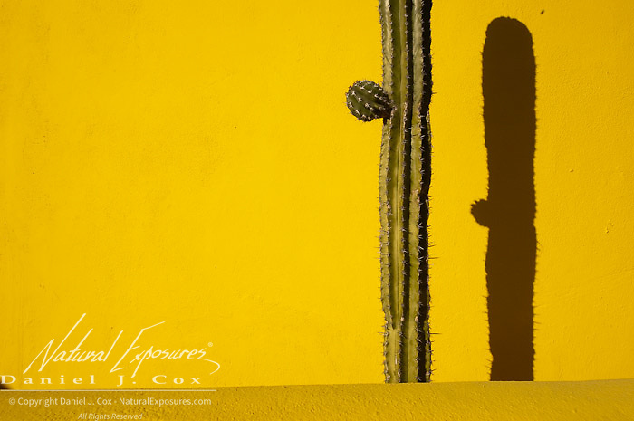 A Saguaro cactus stands alone in front of a bright yellow wall.