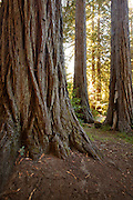 Giant redwoods in a California Reddwoods State Park