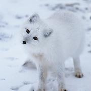 Portrait of an Arctic Fox (Vulpes lagopus). Canada