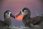 black-footed albatrosses, Phoebastria nigripes, couple at sunset, Sand Island, Midway Atoll, Midway National Wildlife Refuge, Papahanaumokuakea Marine National Monument, Northwest Hawaiian Islands, USA ( North Pacific Ocean )