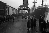 """1960 - Horses for export bound for Dieppe on the """"City of Waterford"""""""