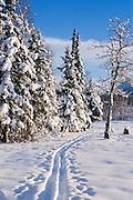 Alaska. Cross-country ski tracks with snow covered trees.