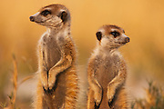 Two meerkats ( Suricata suricatta ) on sentry duty looking out for predators in the early morning, Kalahari Desert, Botswana, Africa