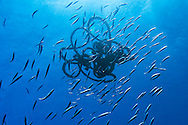 Sardines, Sardinella aurita, staying close to a drifting rope. Pico, Azores, Portugal