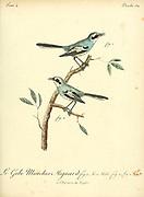 Mignard enchanteur Stenostira scita - Fairy Flycatcher from the Book Histoire naturelle des oiseaux d'Afrique [Natural History of birds of Africa] Volume 4, by Le Vaillant, Francois, 1753-1824; Publish in Paris by Chez J.J. Fuchs, libraire 1805