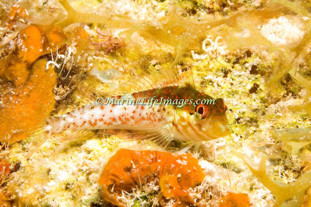 Saddle Blenny inhabit reefs, perch on bottom in Tropical West Atlantic; picture taken Little Cayman.