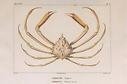 Libidoclee or Libidoclea Crustaceans (Crustacea) form a large, diverse arthropod taxon which includes such animals as crabs, lobsters, crayfish, shrimps, prawns, krill, woodlice, and barnacles hand coloured sketch From the book 'Voyage dans l'Amérique Méridionale' [Journey to South America: (Brazil, the eastern republic of Uruguay, the Argentine Republic, Patagonia, the republic of Chile, the republic of Bolivia, the republic of Peru), executed during the years 1826 - 1833] Volume 6 Part 1 (Crustacean). By: Orbigny, Alcide Dessalines d', d'Orbigny, 1802-1857; Montagne, Jean François Camille, 1784-1866; Martius, Karl Friedrich Philipp von, 1794-1868 Published Paris :Chez Pitois-Levrault. Publishes in Paris in 1843