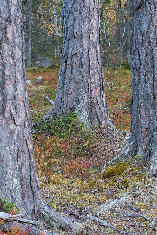 Old-growth pine forest, Muddus National Park, Laponia Unesco World Heritage Site, Norrbotten, Lapland, Sweden