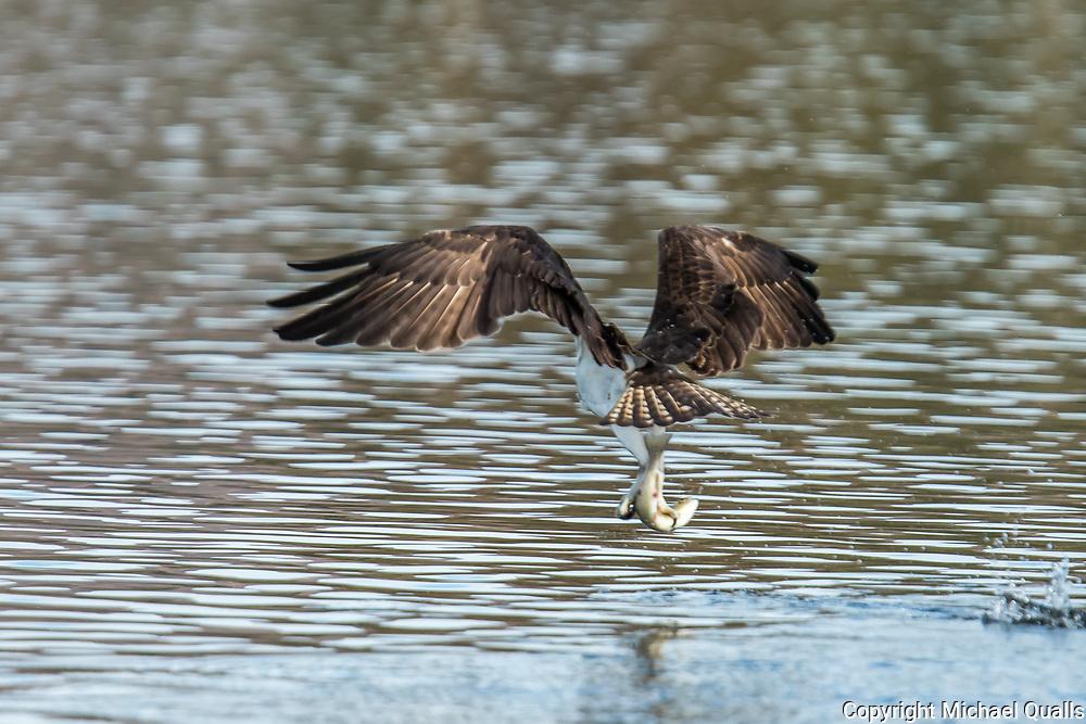 Osprey (Pandion haliaetus) Fishing-Sequence #3