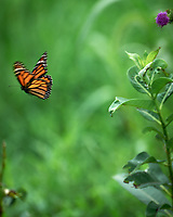 Monarch Butterfly leaving a Milkweed Plant. Image taken with a Leica SL2 camera and 90-280 mm lens