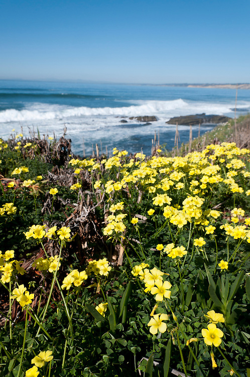Flowers on the cliffs of La Jolla Cove, San Diego County, California. Photo by William Drumm.