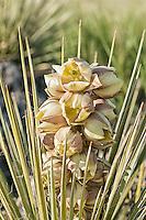 The beautiful soapweed yucca  in full summertime bloom growing in northwestern Colorado.