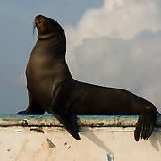Galapagos Sea Lion (Zalophus californianus) relaxing  on a cement wall. Galapagos, Ecuador.