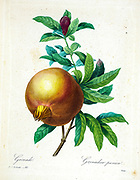 19th-century hand painted Engraving illustration of a Pomegranate (Punica granatum). by Pierre-Joseph Redoute. Published in Choix Des Plus Belles Fleurs, Paris (1827). by Redouté, Pierre Joseph, 1759-1840.; Chapuis, Jean Baptiste.; Ernest Panckoucke.; Langois, Dr.; Bessin, R.; Victor, fl. ca. 1820-1850.