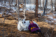 A small Tsaatan child sleeping on one of his reindeer (Rangifer tarandus), Khovsgol Province, Mongolia