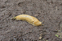 A solid yellow version of the Pacific banana slug (Ariolimax columbianus) filters through the richly organic humus on a warm summer day in the Dungeness National Wildlife Refuge on Washington's Olympic Peninsula.
