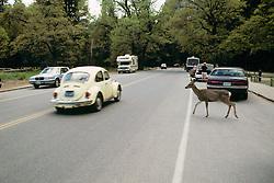 Black-tailed Deer Crossing Road