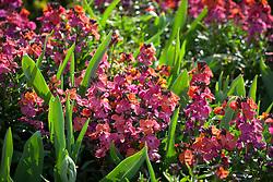 Erysimum 'Winter Orchid' growing amongst tulips. Wallflowers